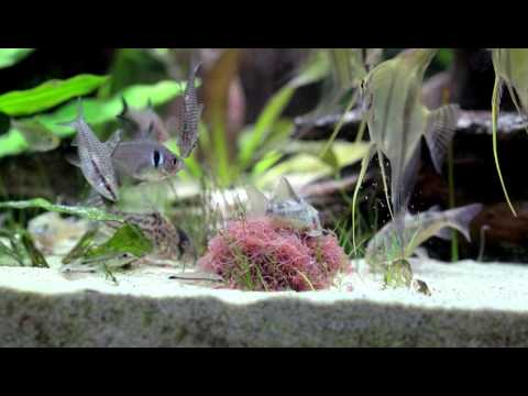 South America Biotope Aquarium - Feeding Tubifex Worms, Oct 2015