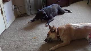Собаки грызут корочки
