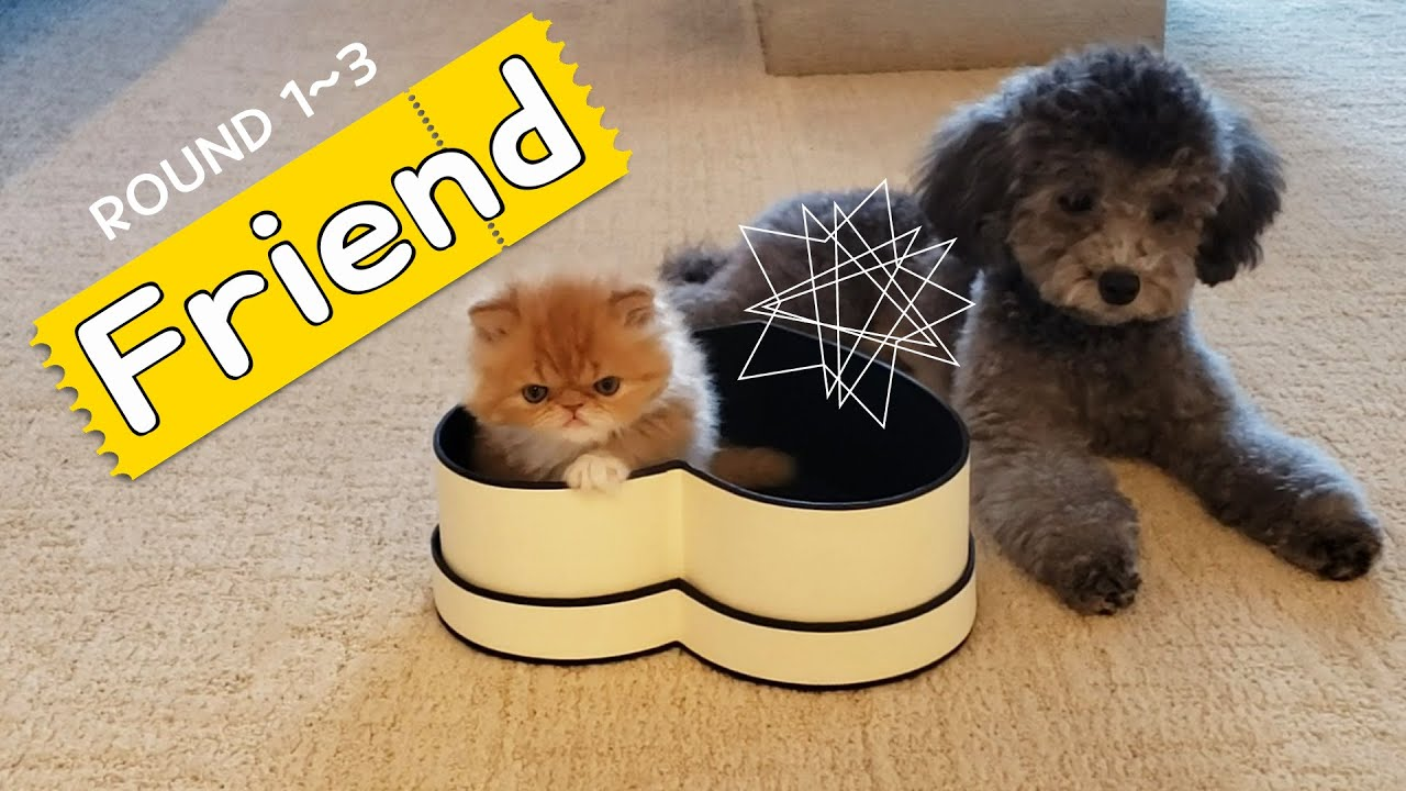[cat and dog – round 1~3] Kiki and Mocha Friendship (cute pets) Silver poodle vs Persian cat