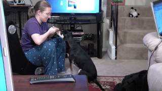 Year Old Dachshund Mix Lily Doing Tricks