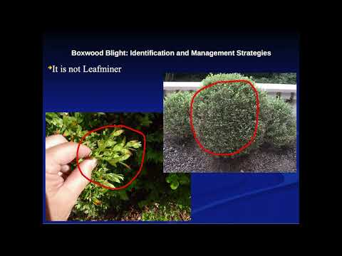 Boxwood Blight: Identification and Management Strategies with Patrick Mawhinney