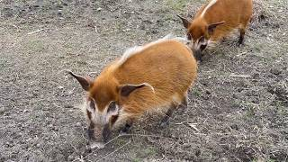 Red River Hogs Follow the Keepers