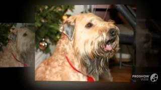 Ирландский мягкошерстный пшеничный терьер порода собак