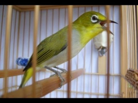 AURIVENTER THERAPY ZOSTEROPS WHITE EYES BIRD SINGING LOAD