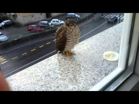Sparrowhawk on fifth floor in the midle of the city Trbovlje Slovenia