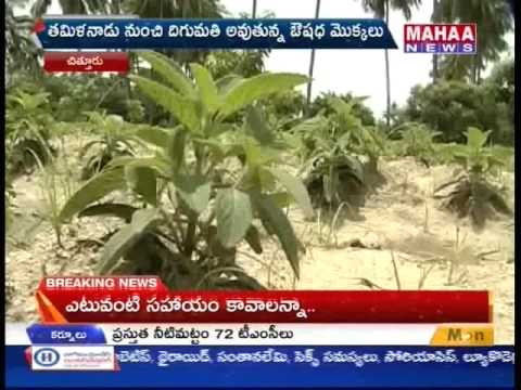 AP Farmers Concentrate On Drugs Crops Cultivation -Mahaanews
