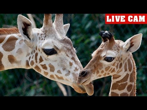 Live Cam Giraffe Birth at The Greenville Zoo