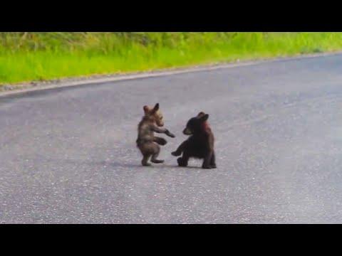Baby Bears Wrestle In The Road