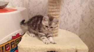 Шотландские котята дата рождения 14.08.2016