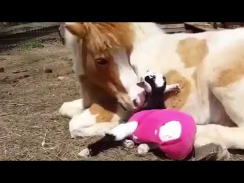 Thumbnail Horse.com gives back to Goats of Anarchy!