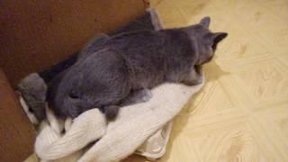Кот секс гигант/ Cat sex gigant