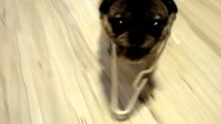 Pug Vs. Clothes Hanger