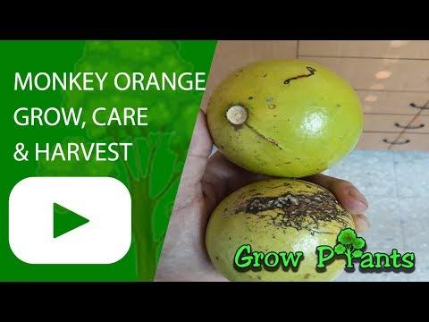 Monkey orange tree growing & care for edible fruit in taste of kiwi & bananas