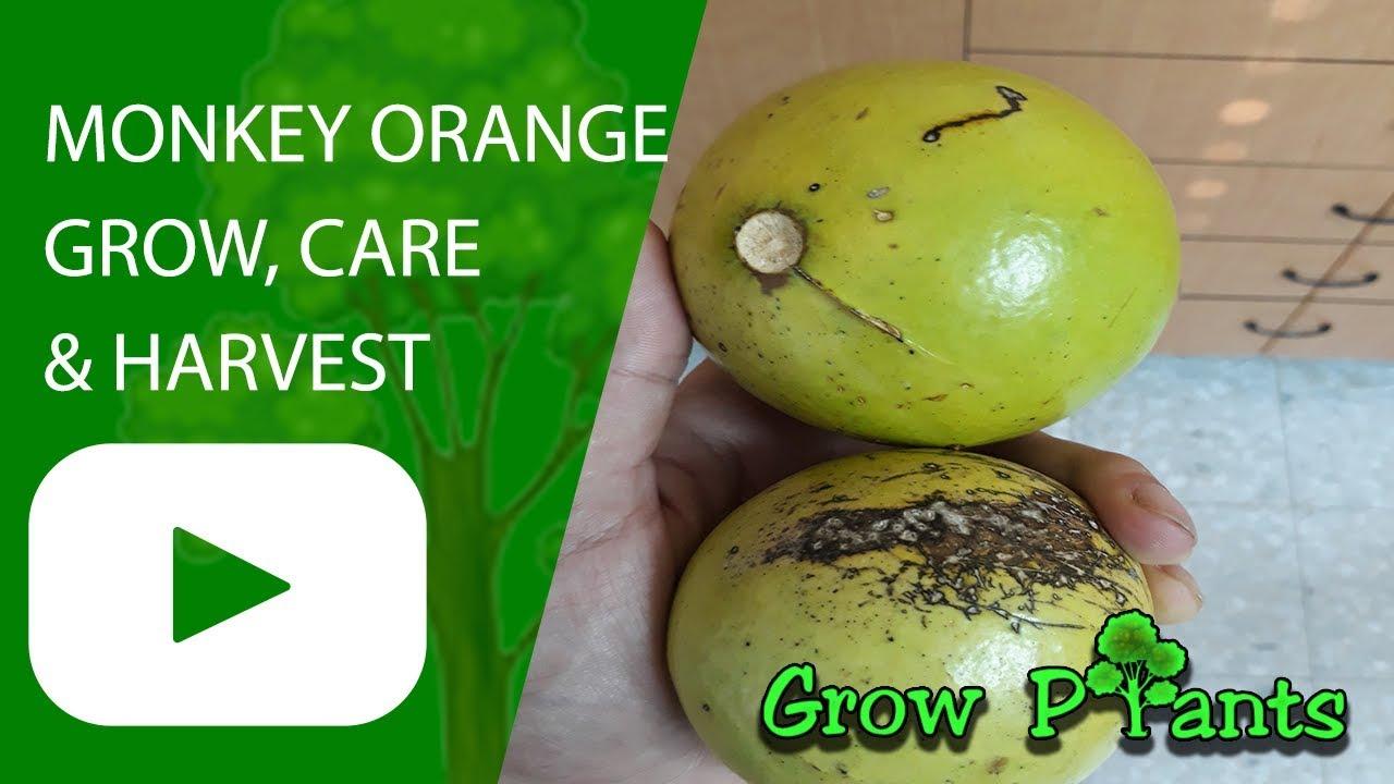 Monkey Orange Tree Growing Amp Care For Edible Fruit In
