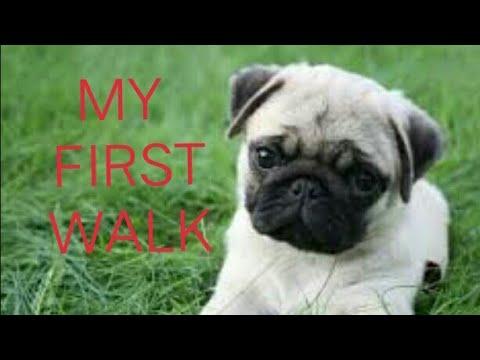 Pug Puppy First Walk!!
