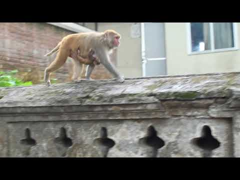 Female Monkey Carrying her Baby Monkey