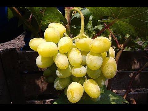 Сорт винограда Галахад. Виноград 2014.