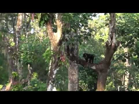 Lion-Tailed Macaque - Anamalai hills