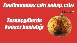 Turunçgillerde Kanser Hastalığı (Xanthomonas citri subsp. citri)