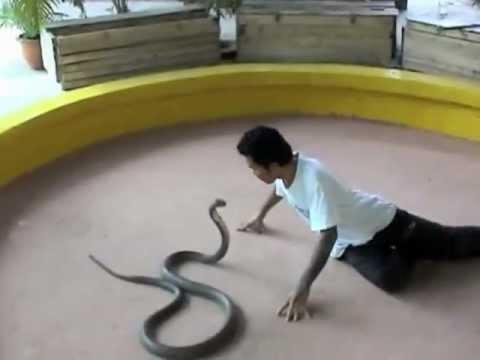 Chơi đùa với 3 con rắn hổ mang chúa...Sợ vl @@