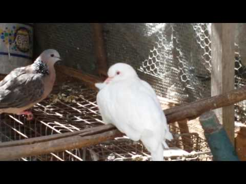 Spotted doves from Thai and indonesia