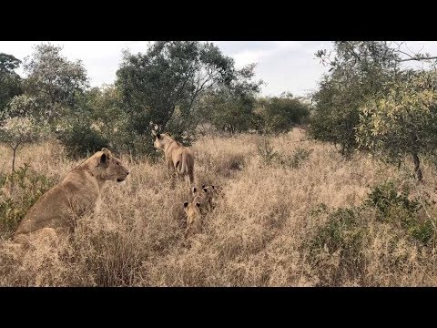 Desperate Lioness Reunited With Missing Cubs