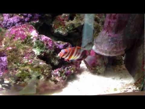 Full 4ft marine aquarium view with: zebra moray, harlequin tusk, yellow tang and more