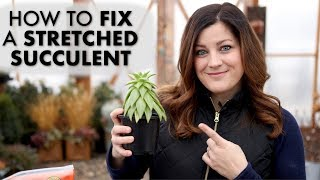 How to Fix a Leggy or Stretched Succulent! ✂️🌵// Garden Answer
