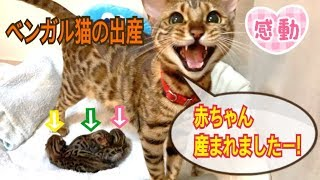 Second birth of Bengal cat bell