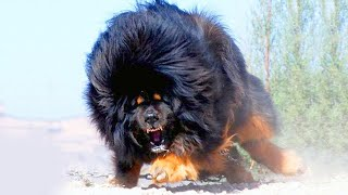 15 Most Dangerous Dog Breeds in the World!