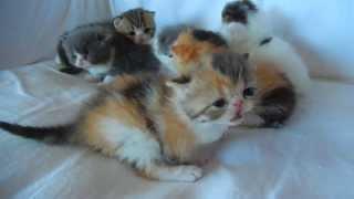 Exotic Shorthair Kittens 3 weeks old