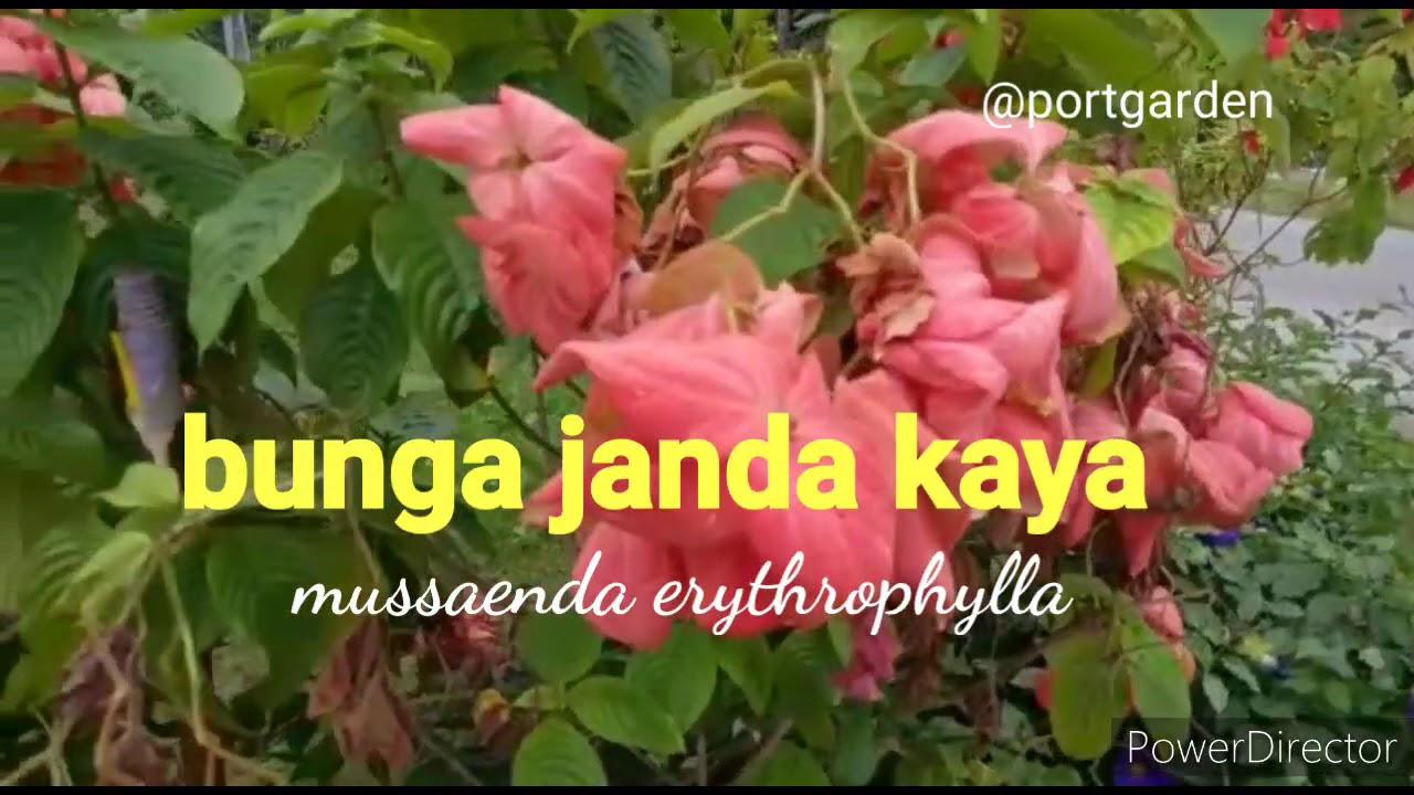Pokok Bunga Janda Kaya Youtube
