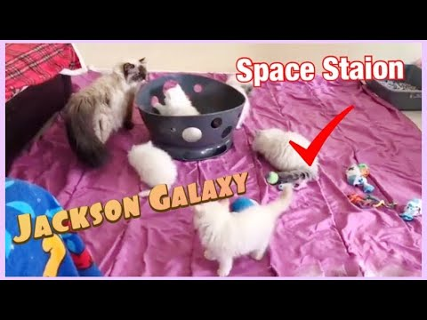 Kittens playing with Jackson galaxy space station