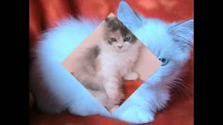 Наполеон - карликовая кошка (Napoleon Cat) породы кошек( Slide show)!