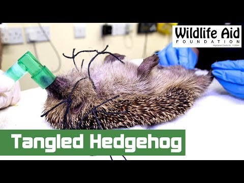 Hedgehog Gets Saved From Being Strangled!