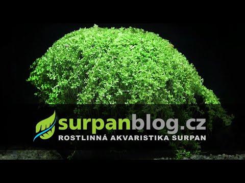 Micranthemum umbrosum Monte Carlo (Giant Baby Tears) - aquarium plant (fullHD)