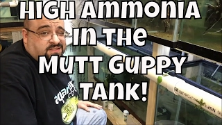 What to do for an ammonia spike Mutt Guppies how to figure out why fish are dying