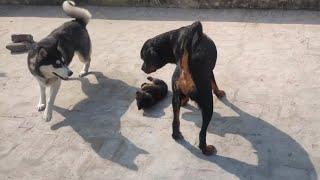 Roxy saved Sultan Form Cheeni 🥺 || Roxy ke puppies || #Rottweiler #puppies #husky #shorts #short