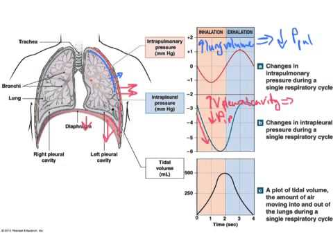 Pulmonary ventilation youtube ccuart