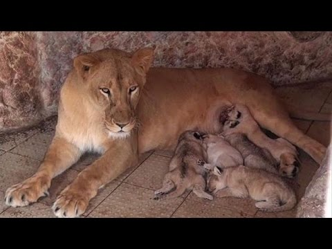 Pakistani pet lioness gives birth to five cubs