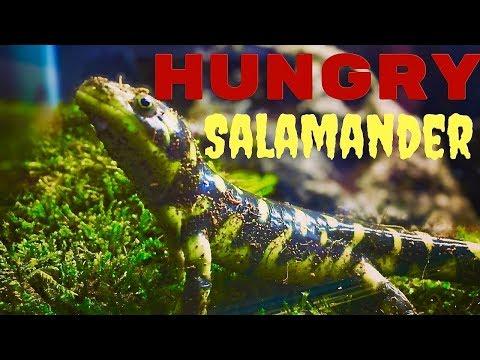 Hungry Salamander: Tiger Salamander Feeding