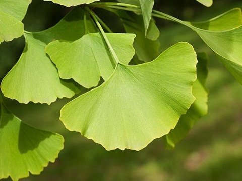 Avis Ginkgo Biloba - concentration : comment la booster ?