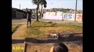 Питбуль - собака просто зверь!!!