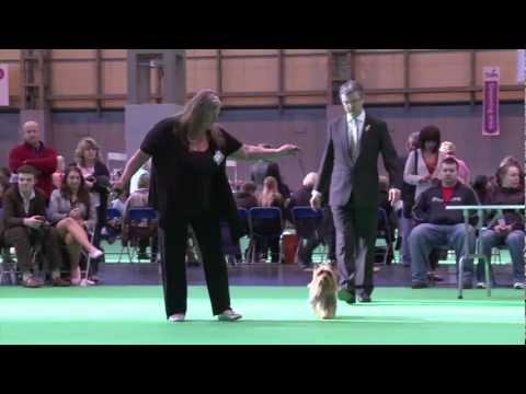 dfs Crufts 2011 - Best of Breed Australian Silky Terrier