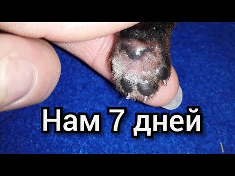 Внимание! Обман при покупке щенка / Вес йорка в семидневном Возрасте и Новый житель Нашего дома