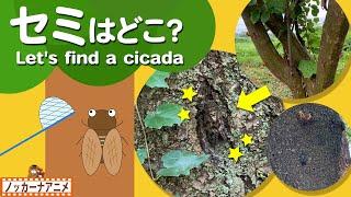 【夏の昆虫クイズ】セミをさがそう!知育【赤ちゃん・子供向けアニメ】Let's find a cicada