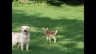 Golden Retriever And Newborn Fawn