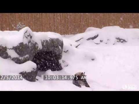 ПРИКОЛ! Панда очень рада снегу