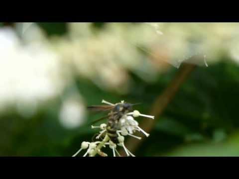 Scoliid Wasp on Japanese Sweet Shrub コモンツチバチ♀がリョウブを訪花