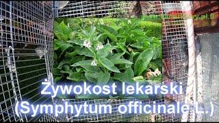 Żywienie kanarków. Niektóre z roślin, które podaje kanarkom.